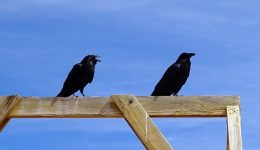 common-raven-1004785_640