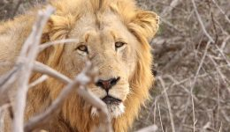 lion-2843871_640