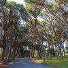 """Ladispoli – """"Alberi di pino, interventi effettuati ed in programmazione"""""""