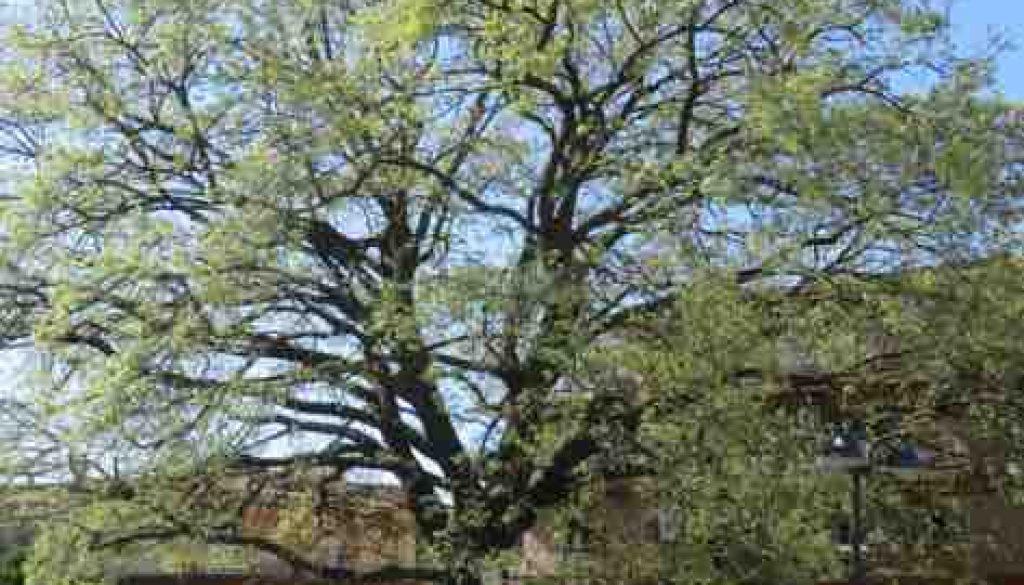 quercia N. 1 Largo Almunecar copia